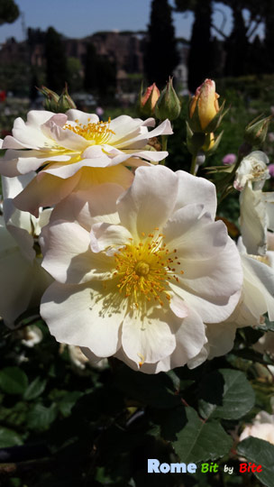rome-rose-garden