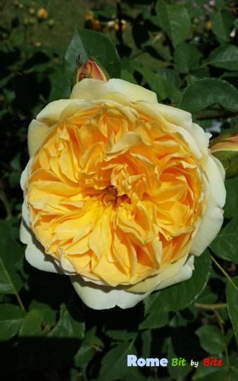 rose-garden-rome