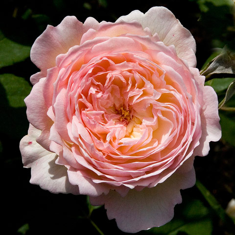 salmon-colored-rose