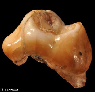 Baby tooth from Grotta del Cavallo Apulia