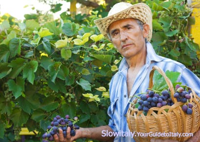 Italian farmer picking grapes