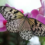bordano-butterflies-thumbnail