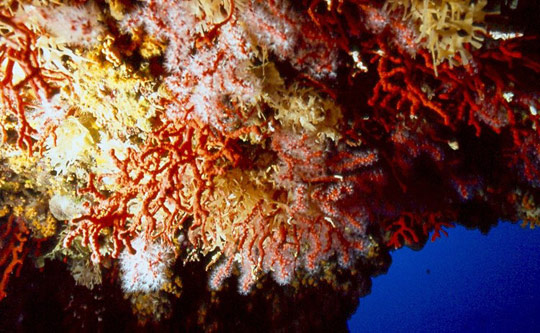 Corallium Rubrum (red coral) in the Grotta Nereo