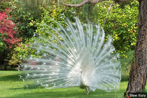 Look for the white peacock, the mascot of the garden. Photo © almac